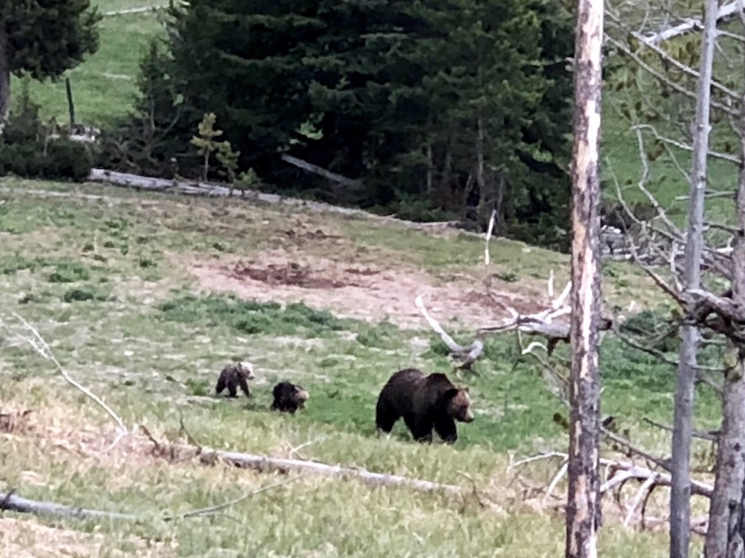 yellowstone national park bears