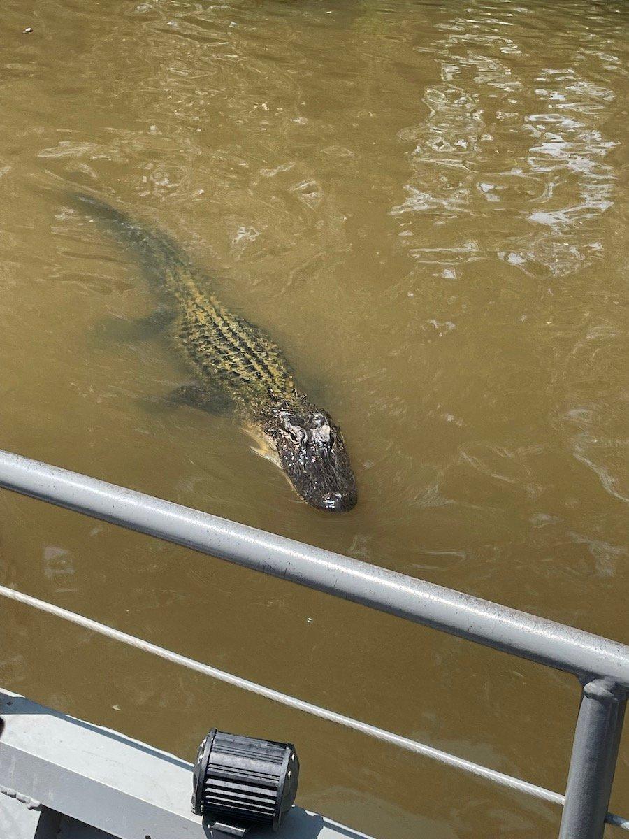 swamp tour alligator